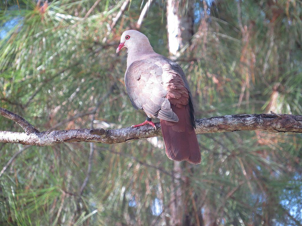 Pink pigeon_Le Petrin_ Mauritius_CCBYSA4