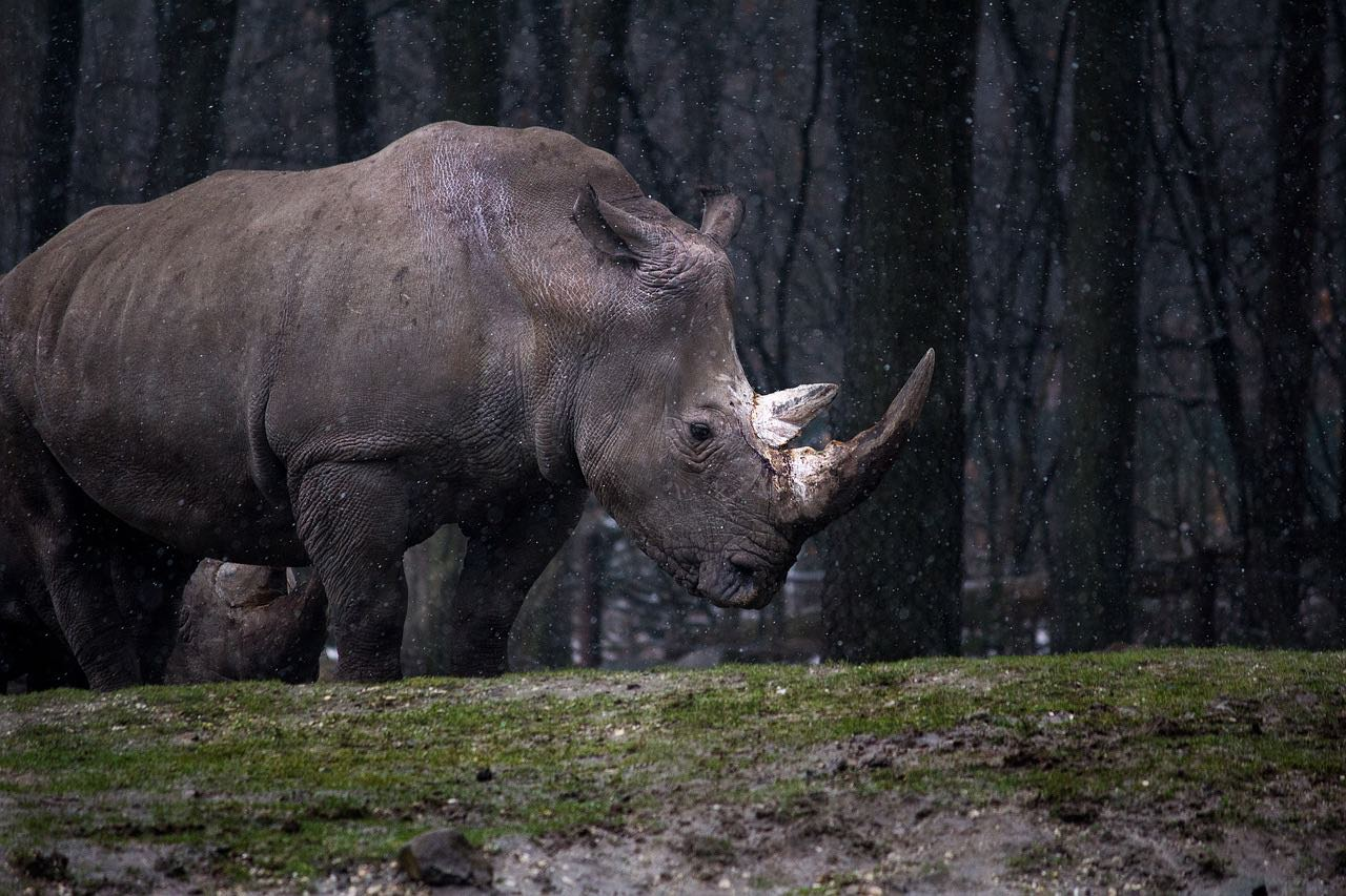 Rhinoceros_rhino_wildlife_in the wild_PD