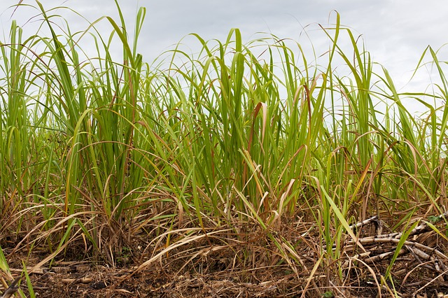 sugar cane crop farming_PD