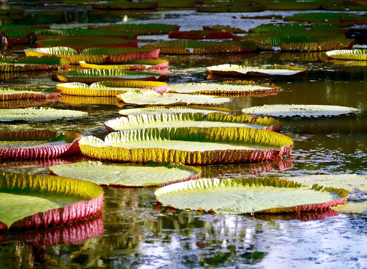 water lily_botanical garden_PD