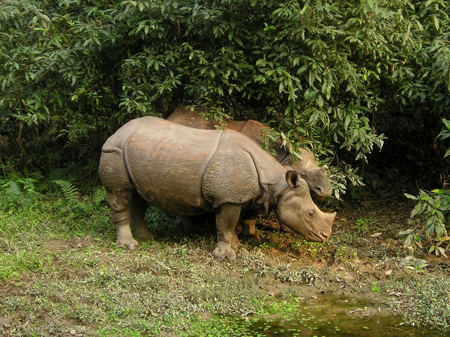 Rhino in Chitwan National Park_Nepal_PD