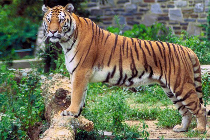 sundarban tiger bangladesh