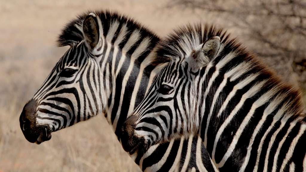 зебра-диких-животных-африка-полосы_PD