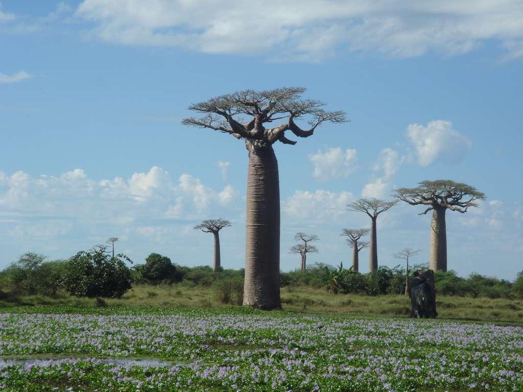 Image_avenue_of_baoba_CC