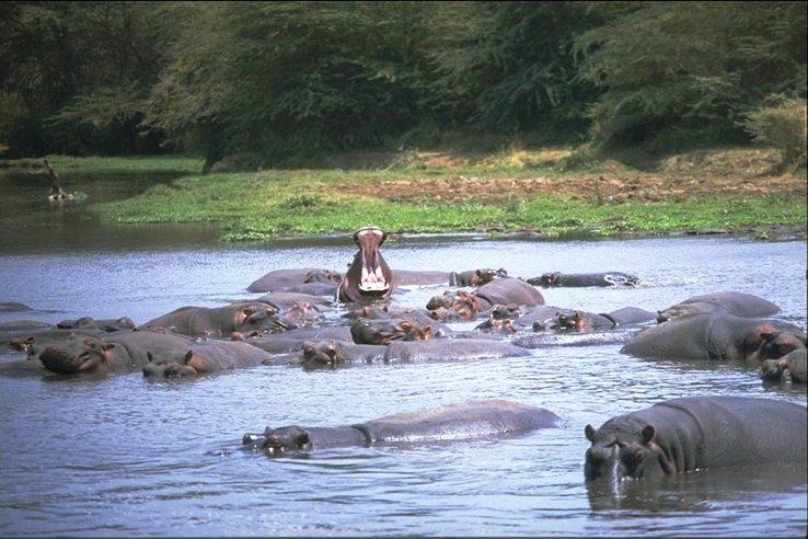 Image_hippopotami_lake_manyara_park