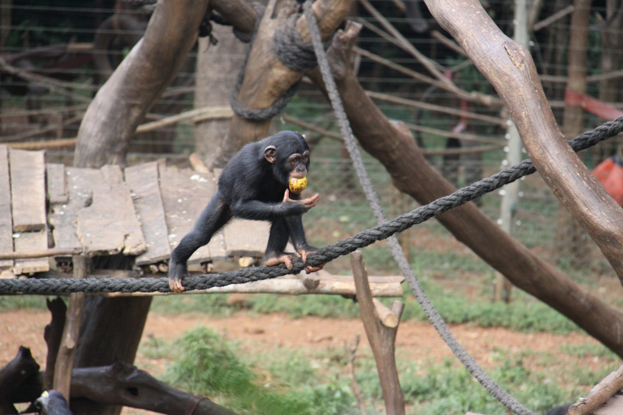 West_African_Chimpanzee_CC