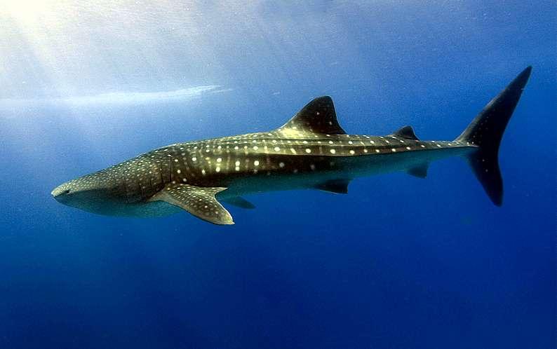 image_ dharavandhoo_thila_whale_shark_CC