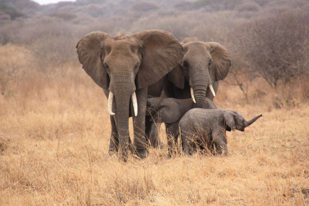 tanzania-animals-elephant_PD
