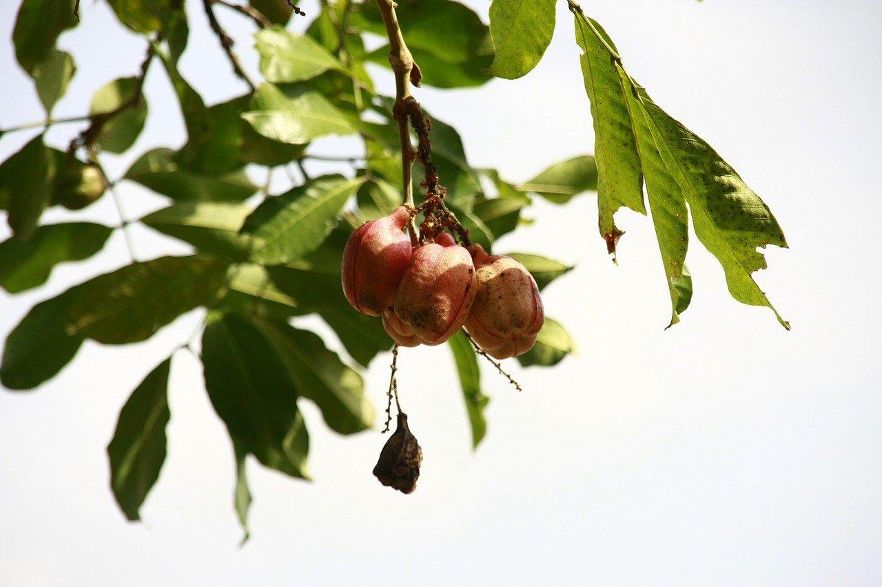 Ackee fruit_Jamaica_Caribbean_food_PD