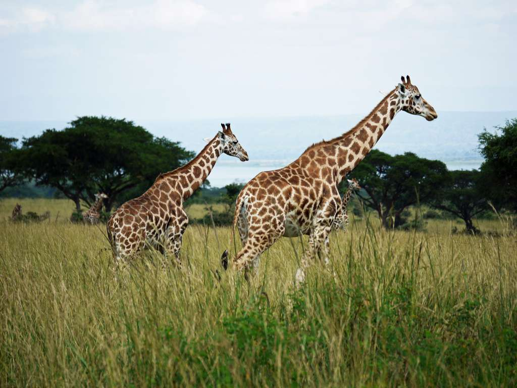 giraffes-rothschild-giraffes-uganda_PD