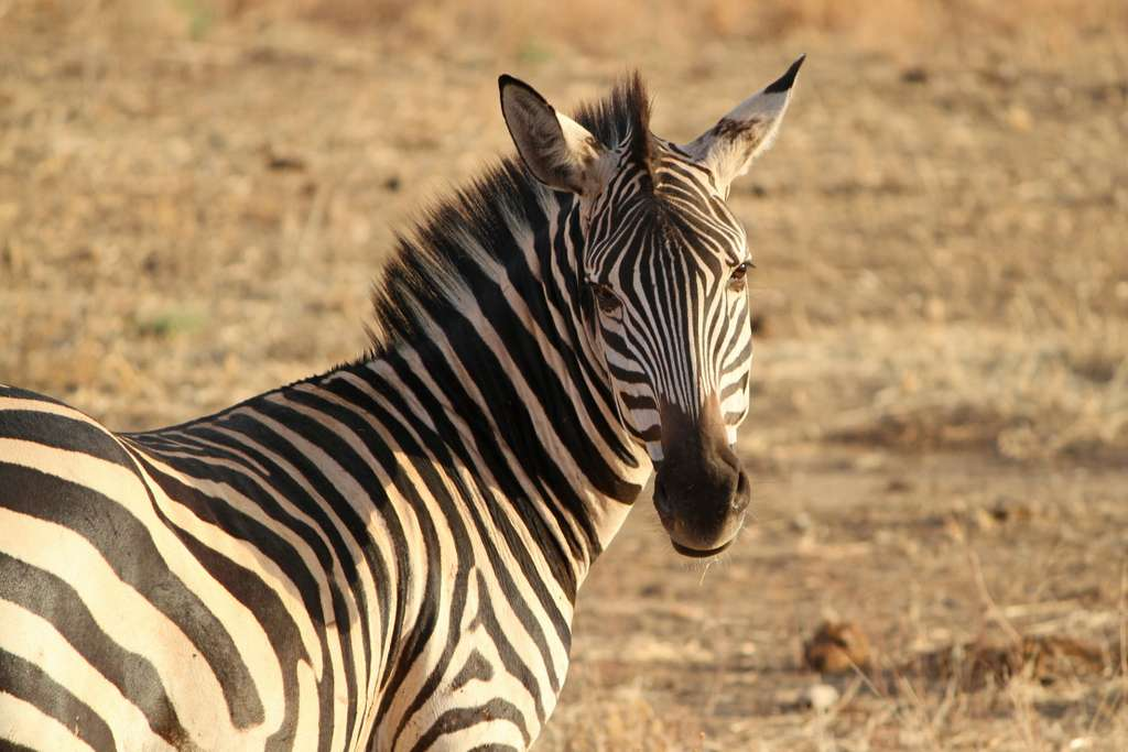 zebra-crosswalk-wild-animal-safari_PD