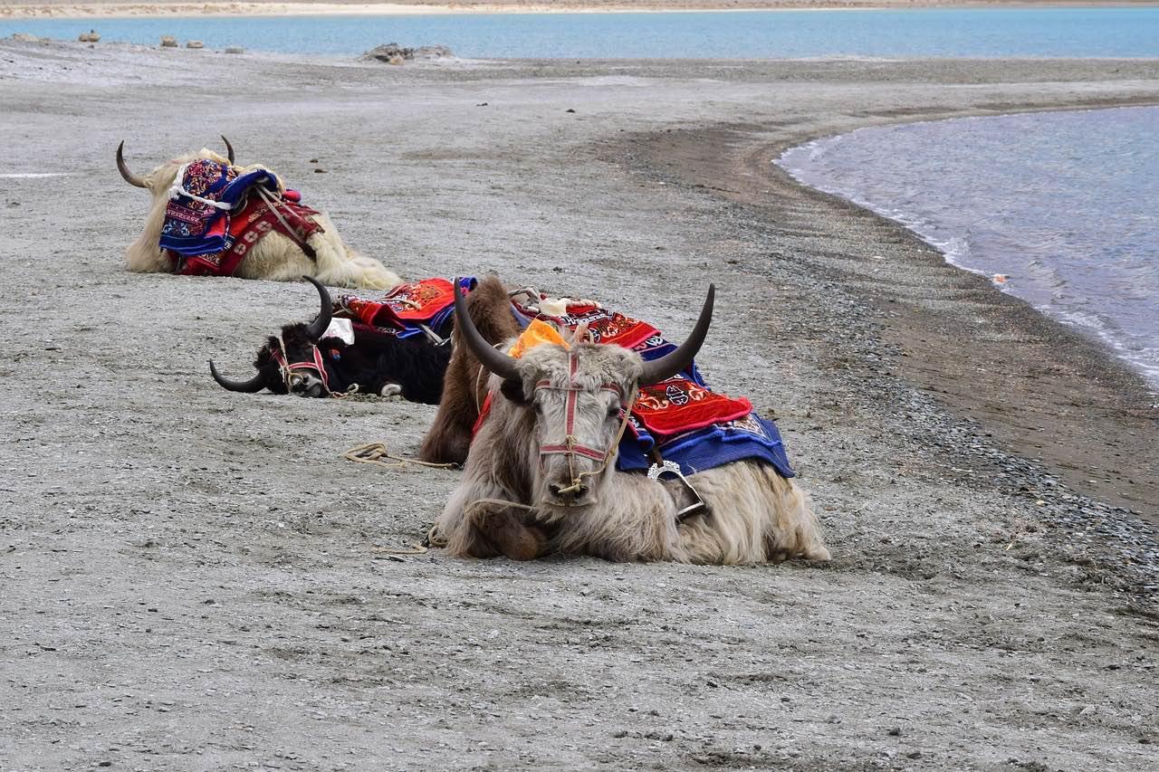 Himalayan_Yak_Pangong Lake_Tso_Nepal_PD