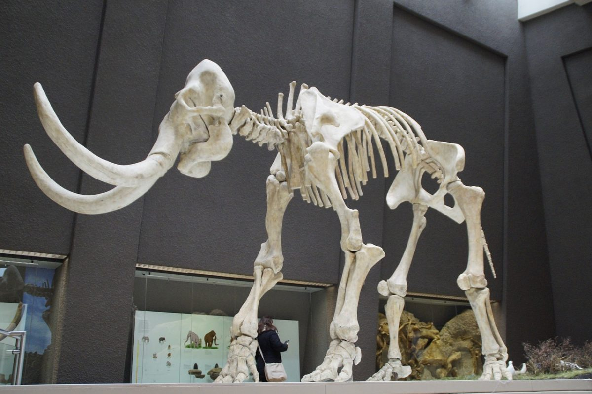 Mammoth_Skeleton_Museum of Natural History_PD