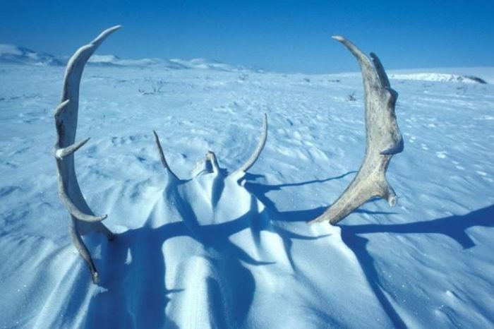 ice-age-3-caribou-antlers-in-snow