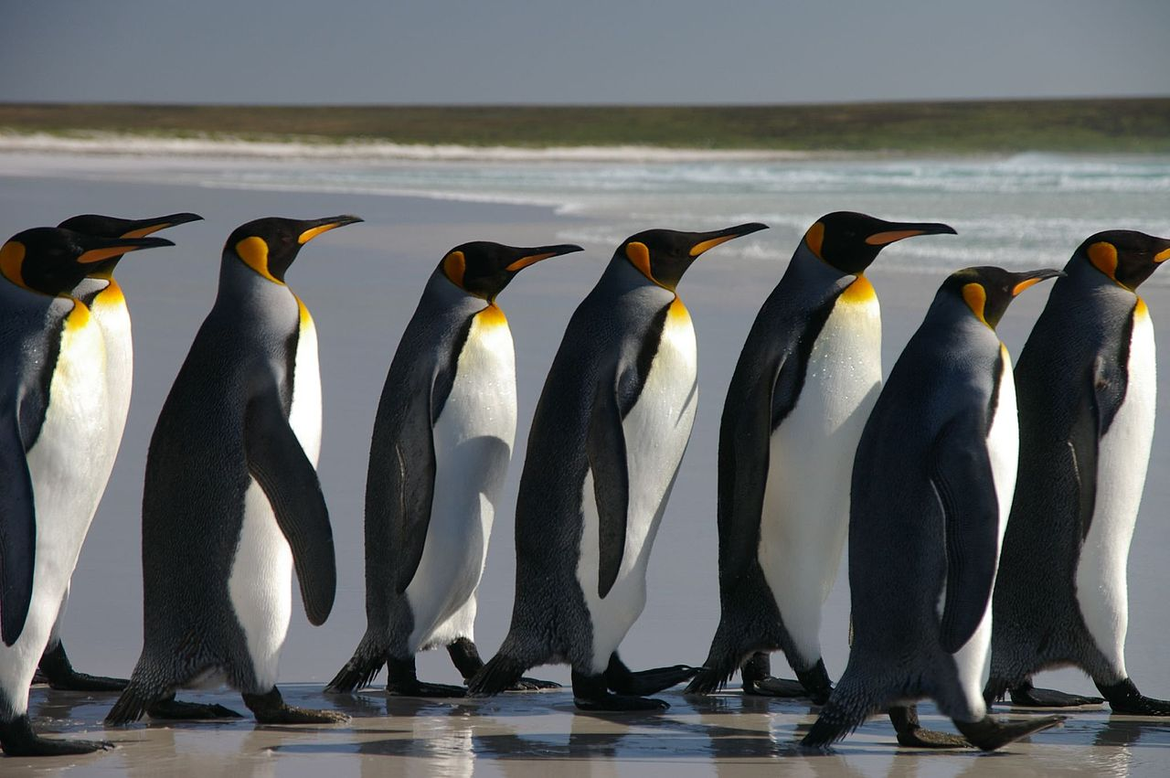 islands of southern ocean. Falkland_Islands_Penguins