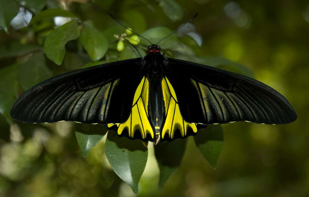 butterfly-male-golden-birdwing-butterfly_park-bangkok_CC
