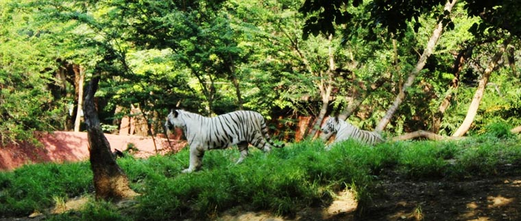 Tigers prowling in the Park enclosure_CC0