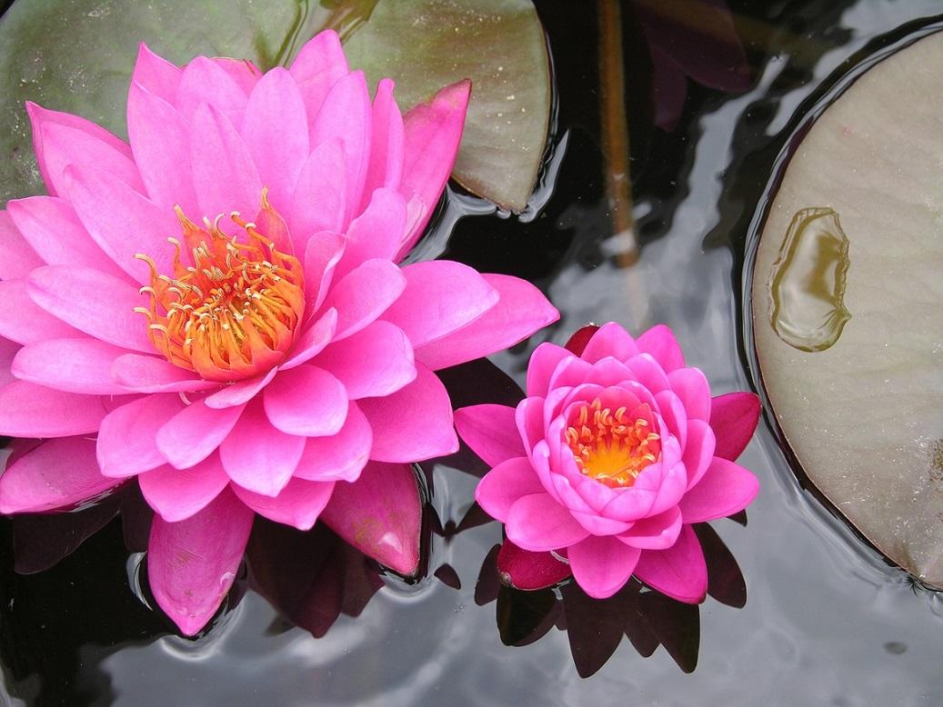 lily_lotus flower_lake_PD