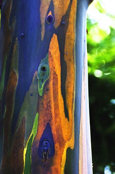 rainbow tree_eucalyptus_CC