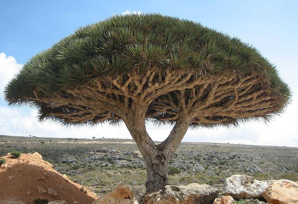 Socotra_dragon tree_Yemen_CCSA4.0