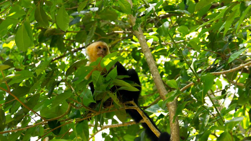 capuchin-monkey-costa-rica_PD