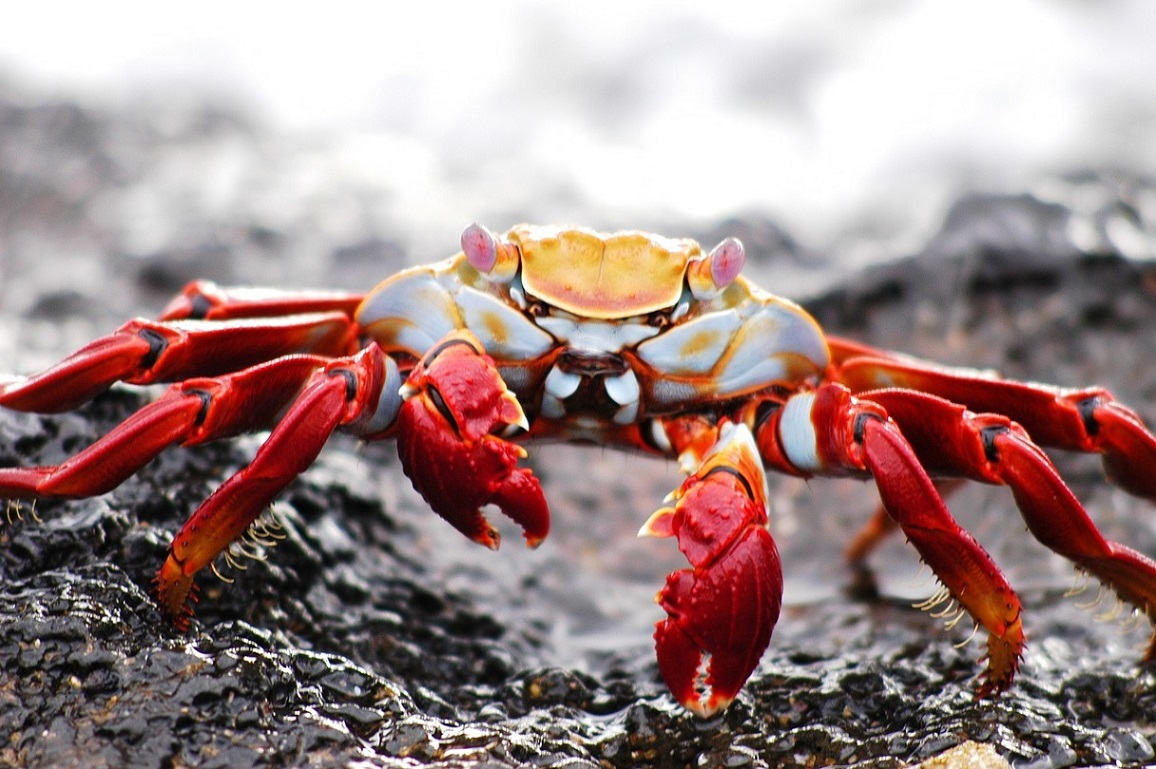 Climate change and Galapagos Islands Crab_PD