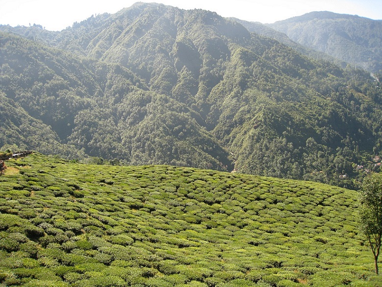 tea-garden_Darjeeling_India_PD
