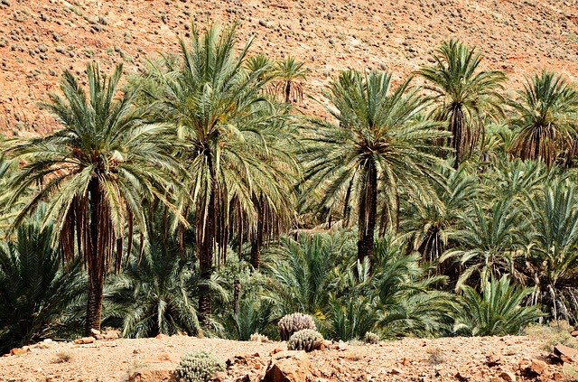 Palm Trees in Marrakech_Morocco_PD