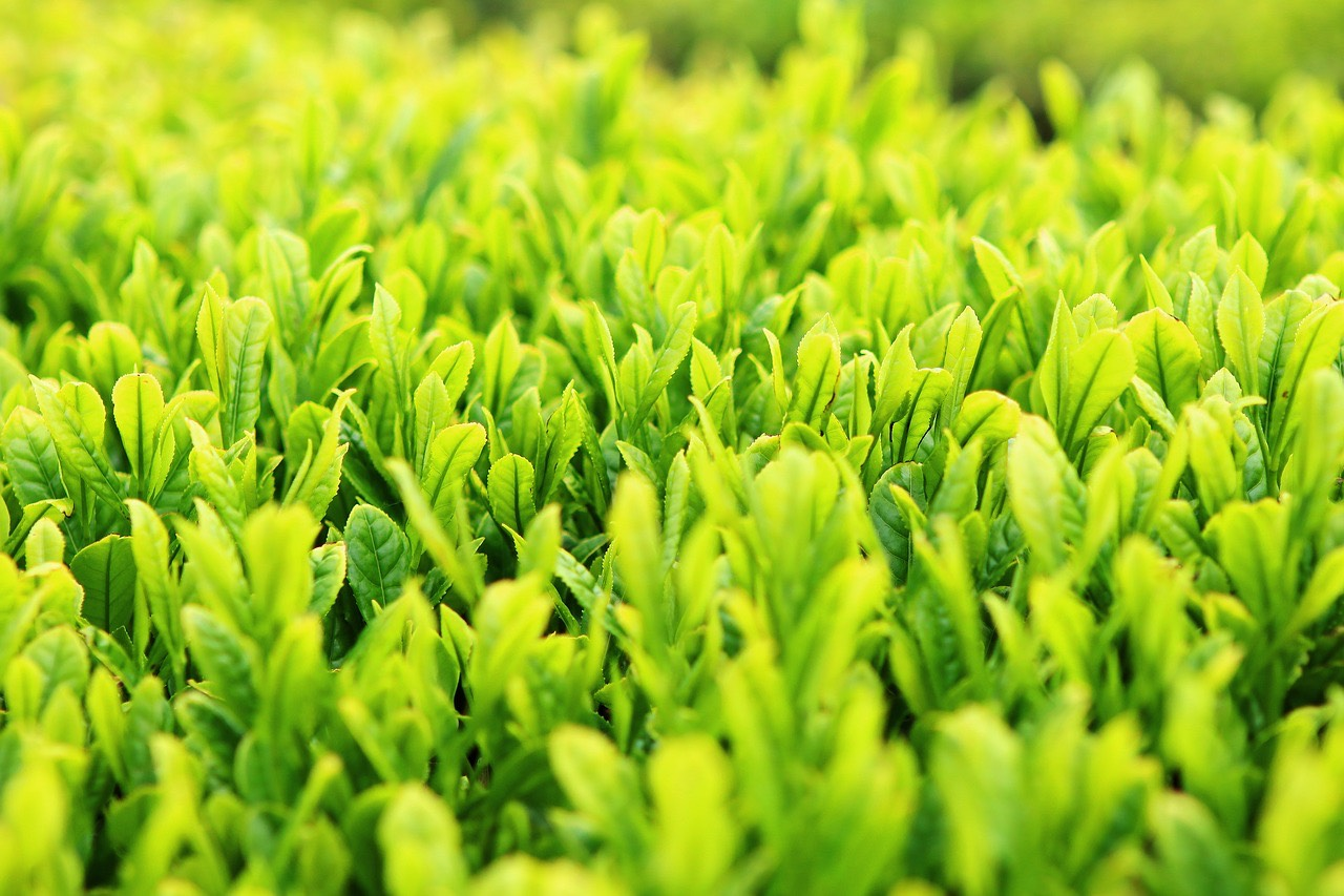 Green Tea_Plantation_PD