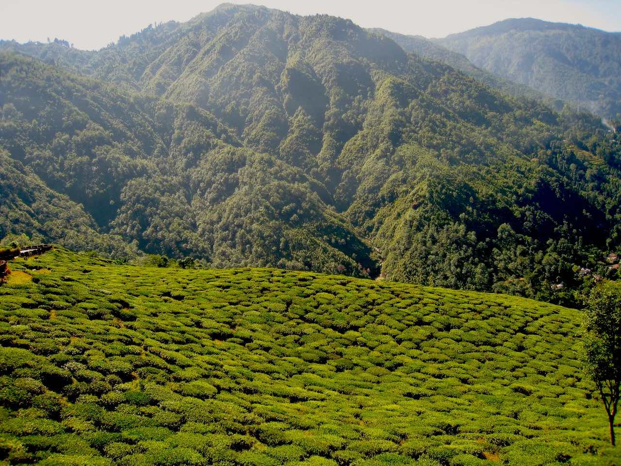 Tea Garden in Assam India_PD