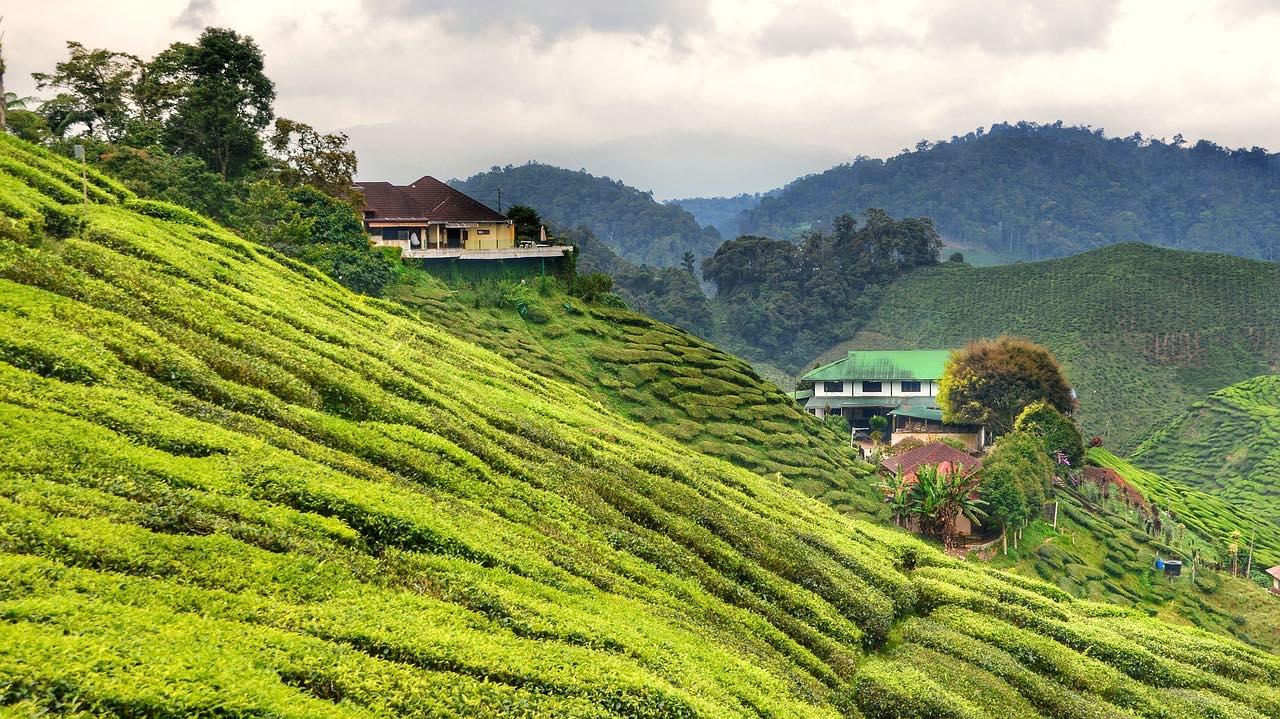 Tea Plantation in Malaysia_PD