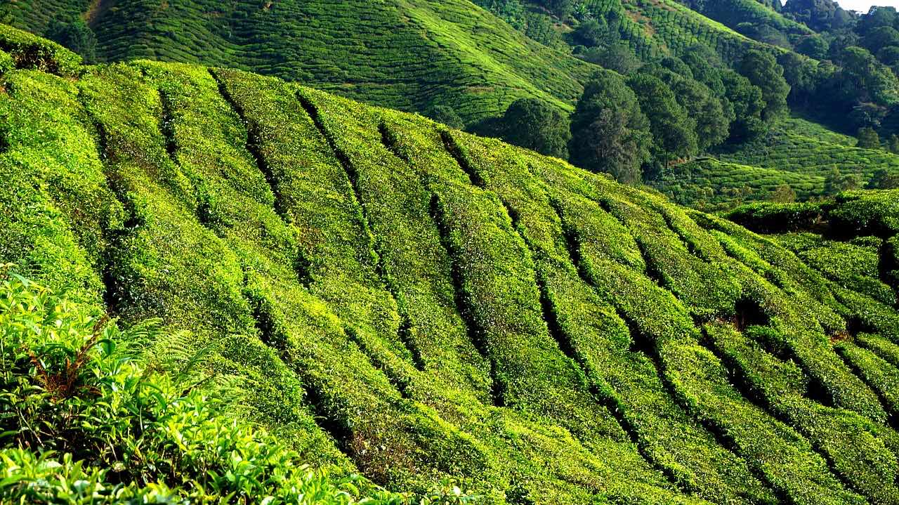 Tea Plantation_Darjeeling India_PD