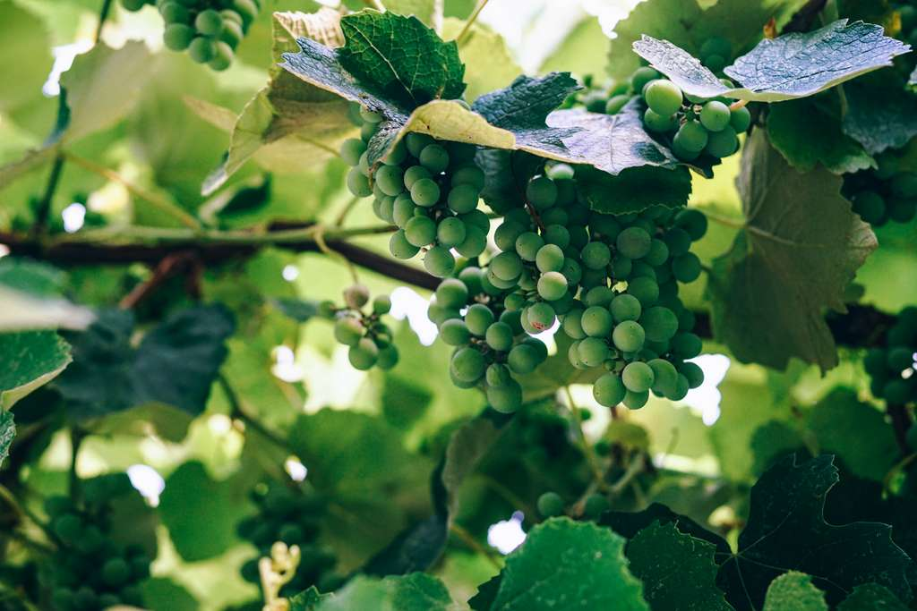 grapes-green-fruits-bunch_PD