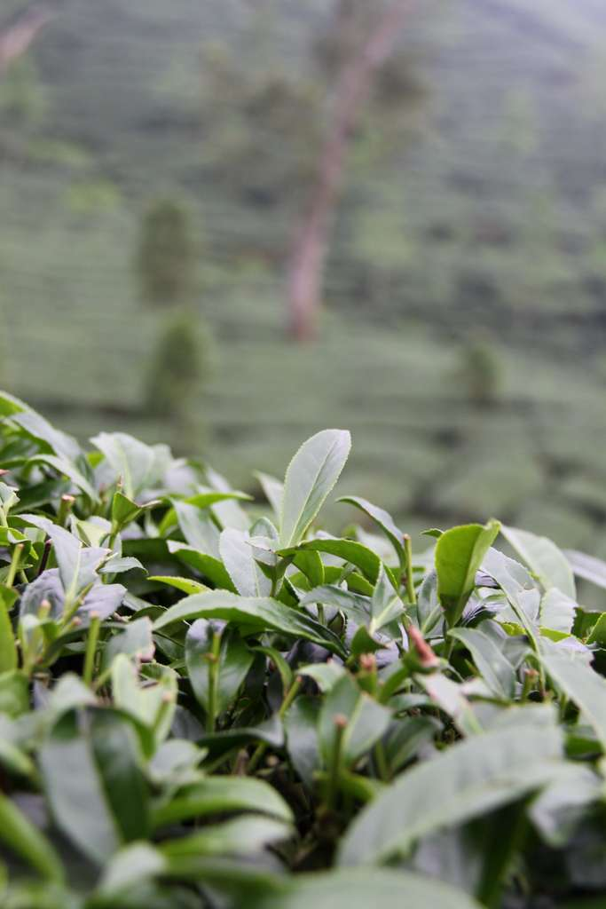 taiwan-tee-plantation-green-tea