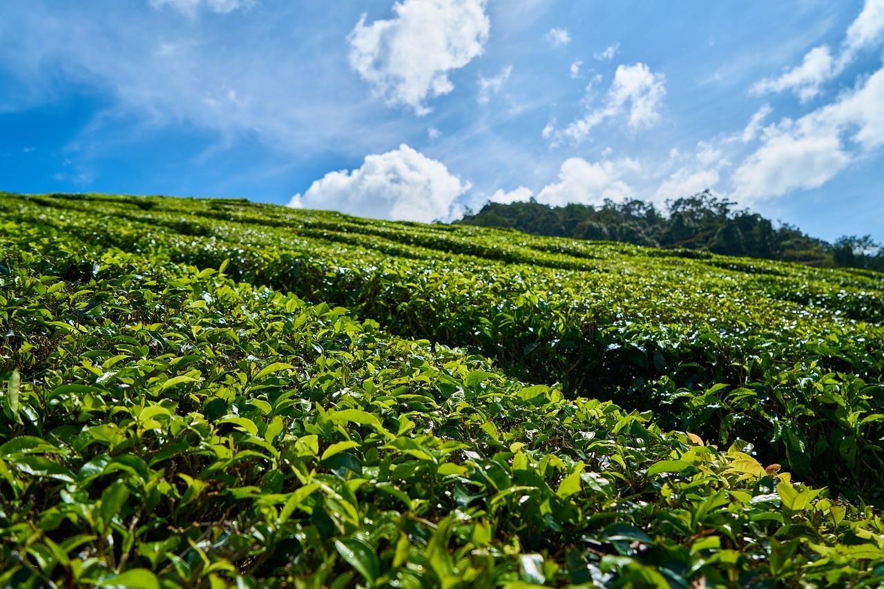A tea field_PD