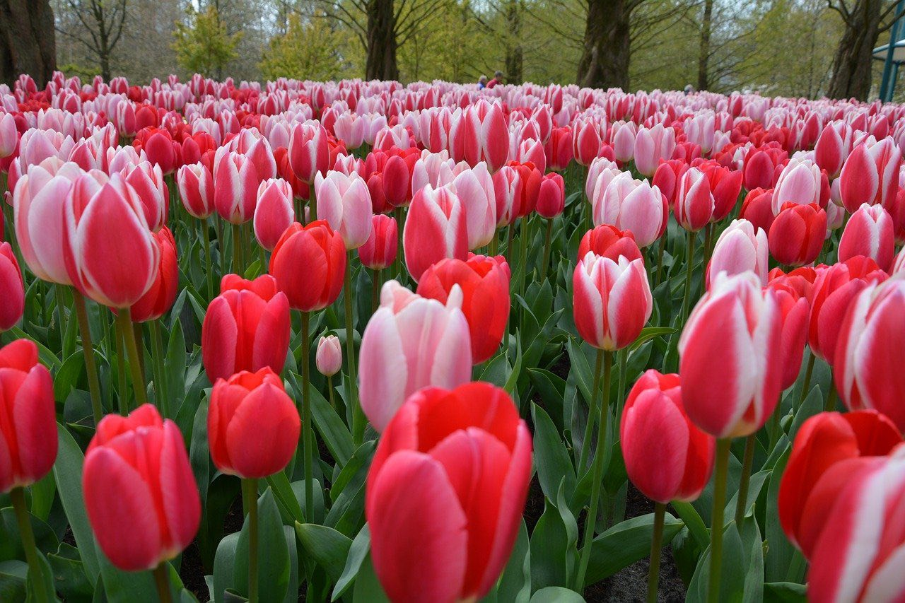 Tulips Spring Flowers_Holland Netherlands_PD