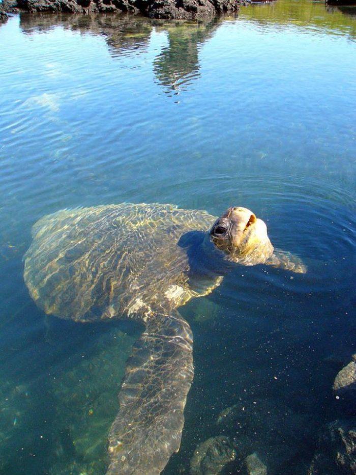 Galapagos_Island_Tortoise_Turtle