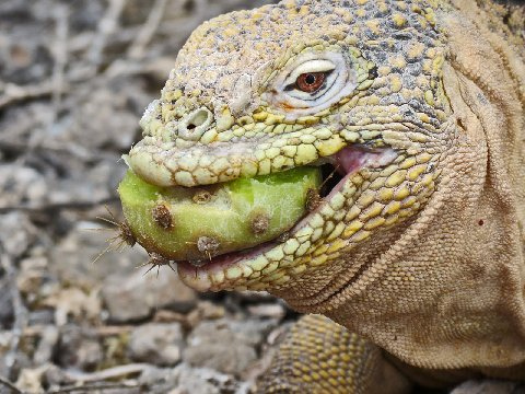 Iguana loves to eat cactus in Galapagos islands