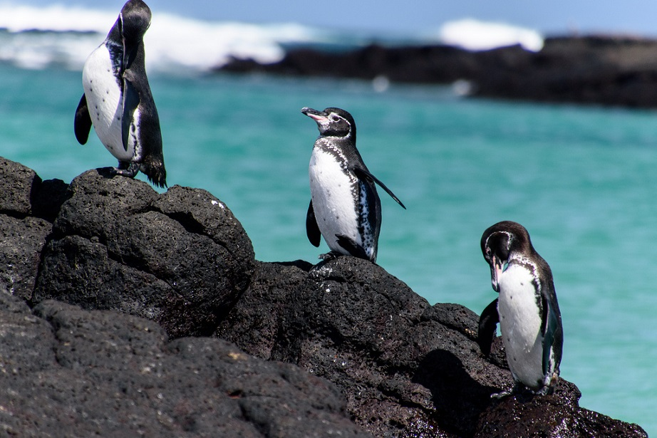 Galapagos penguin. Penguins of Galapagos islands