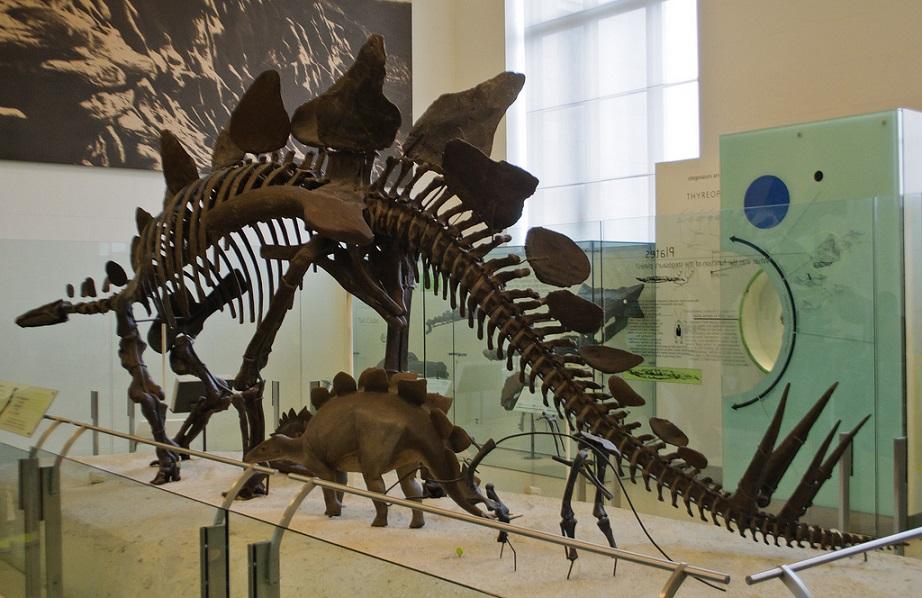 Stegosaurus_Dinosaur_American Museum of Natural History New York City
