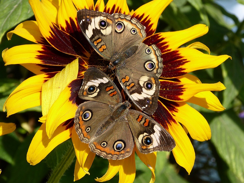 two-butterflies-on-sunflower_biodiversity