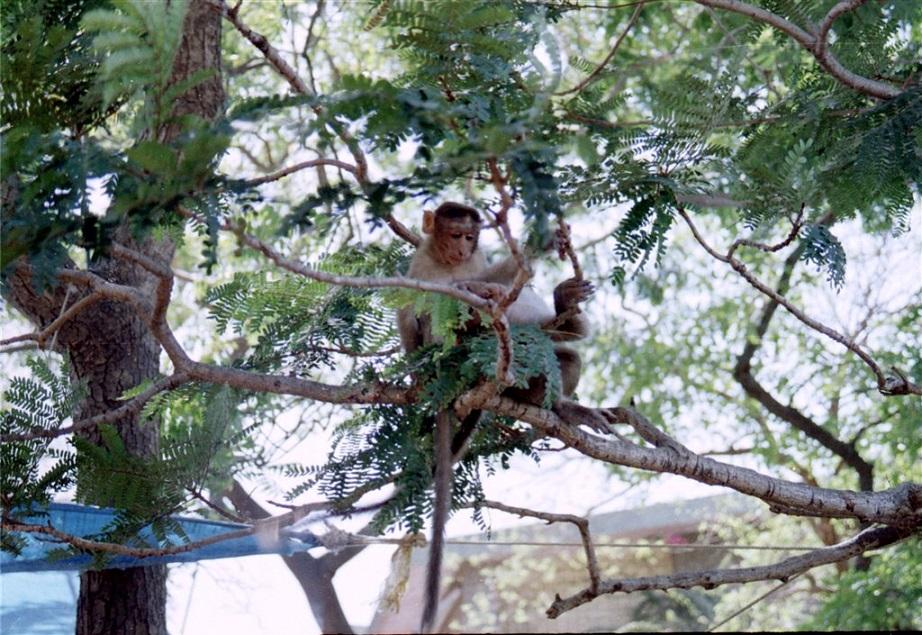 Elephanta_Island_Monkey