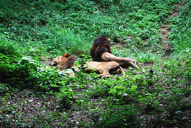 Lions in Bannerghatta National Park Karnataka
