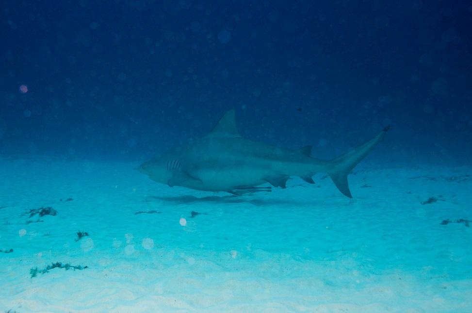 Playa del Carmen scuba diving bull shark