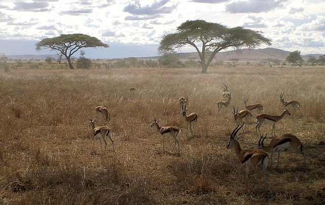 Serengeti_Gazelles_Tanzania_Africa