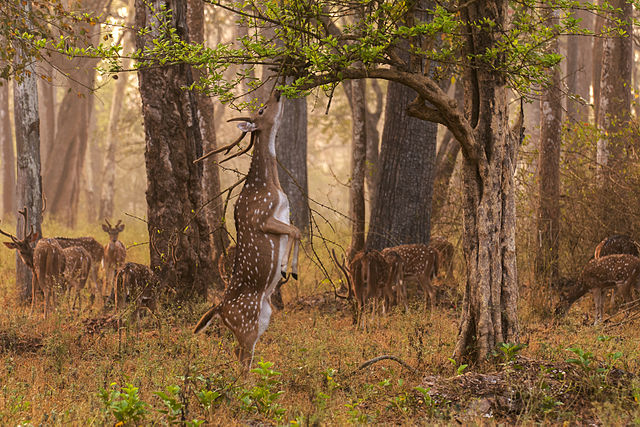 Spotted deer_Nagarhole National Park Karnataka
