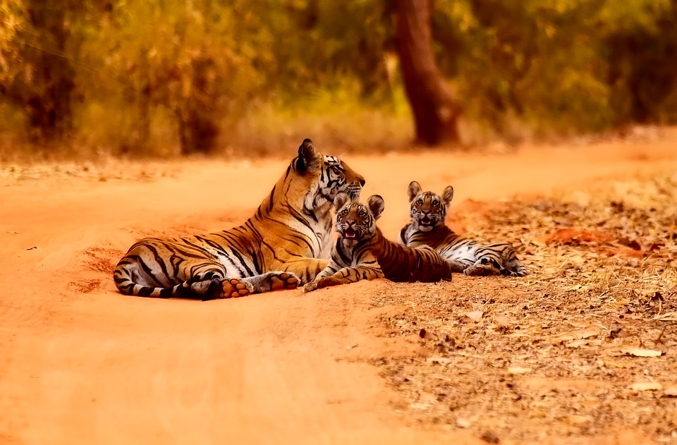 Tigers_National Parks_in_Karnataka_India
