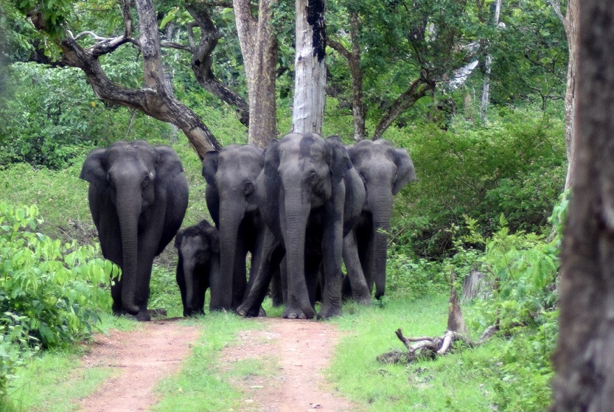 Wild_Elephants_Bandipur_National_Park_Karnataka India