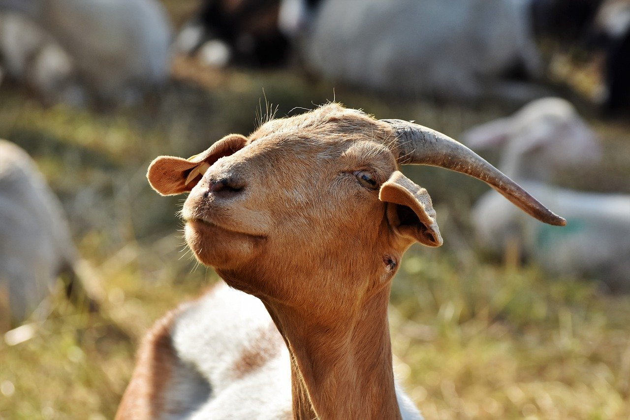 cute goat_PD