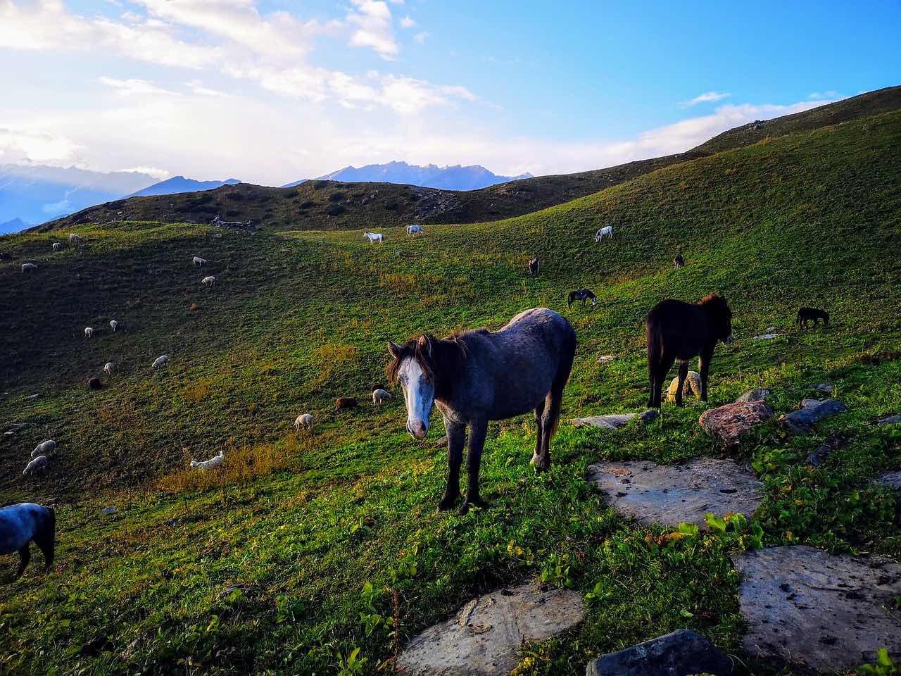himachal pradesh_wild horses_PD